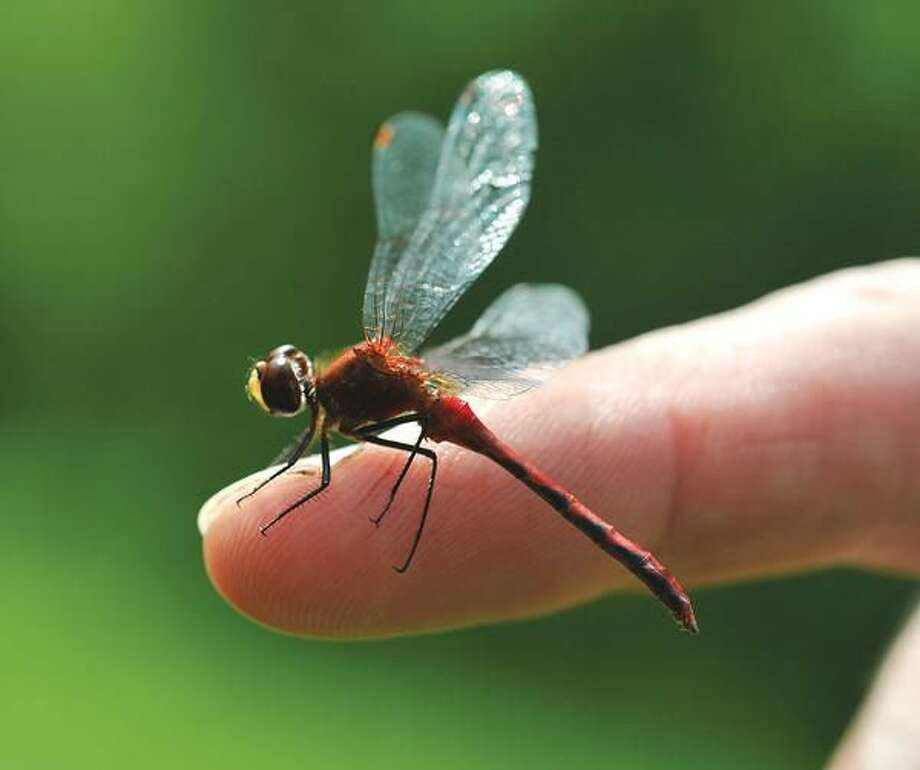 """Photo by Peter Casolino Horticulturist Andy Brand, a naturalist at Brooksvale Park in Hamden, shows off a """"Meadow Hawk"""" dragonfly he caught during Brooksvale's Beautiful Butterflies guided walk Saturday."""