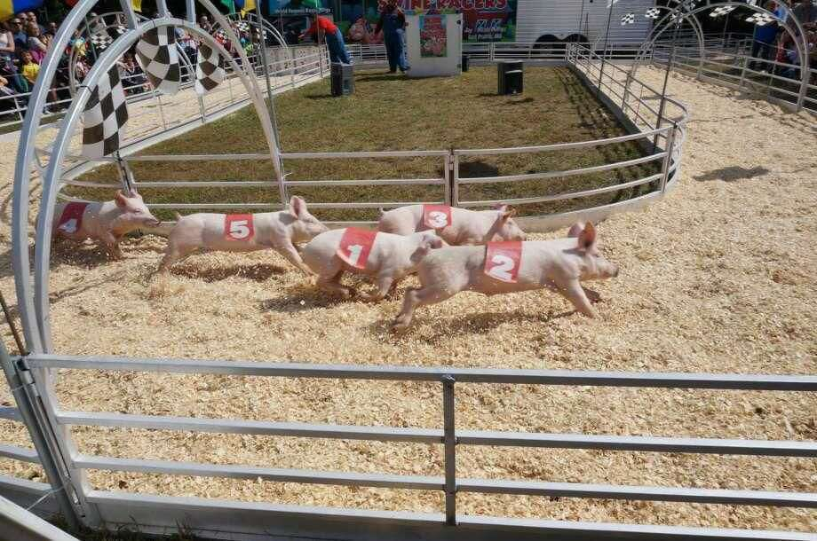Racing pigs are a yearly feature at the North Haven Fair.