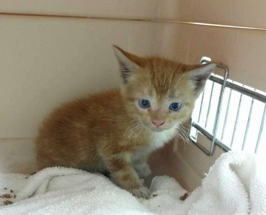 The kitten rescued by Hamden Animal Control Officer Mitch Gibbs.