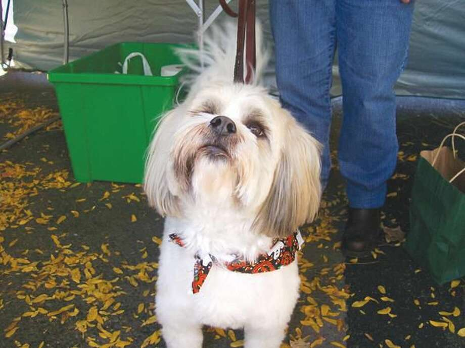 Photos by Lynn Fredricksen Brinkley, a 4-year-old Lhasa Apso mix, was decked out in a bandana patterned with ghosts and pumkins.