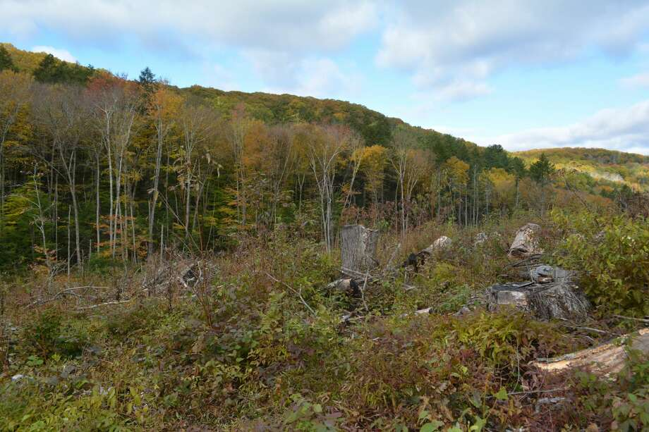 """A """"heavy cut"""" of trees in the American Legion Forest provides thickets that shelter wildlife such as the New England cottontail. It also helps young forests grow more quickly."""