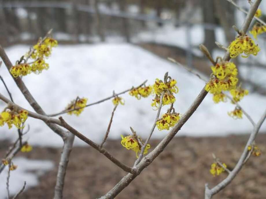 Submitted Photo Witch hazel blooms in a yard in Hamden.