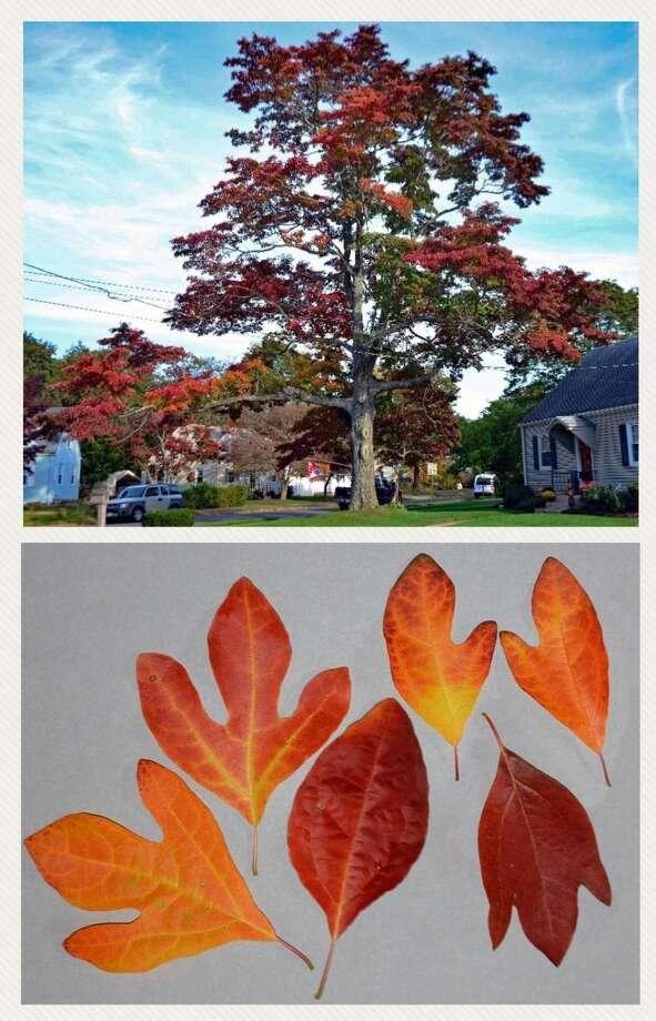 This sassafras tree is Hamden's Notable Tree for November.