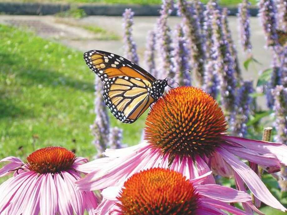 Submitted photo by Carol Lemmon Monarch butterfly nectaring on purple coneflower.