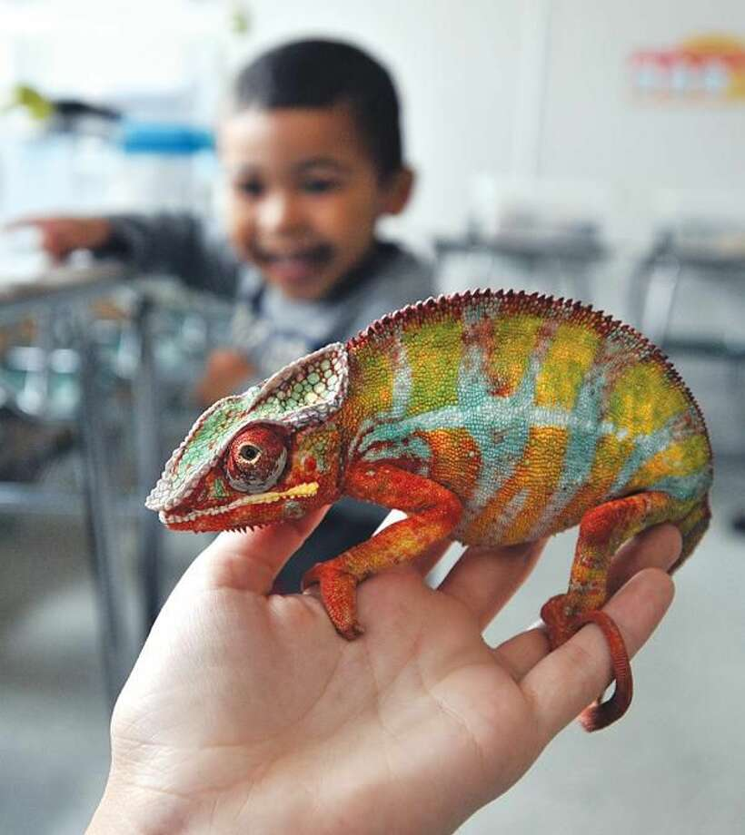 Photo by Peter Casolino 3-Year-old Alec Valera of Hamden gets a close-up look at a Panther Chameleon held by Hamden High Junior Ariana Stover at the Hamden Earth Day Celebration at Hamden Middle School. The chameleon was part of the display of some 50 reptiles by the Hamden High school reptile club.