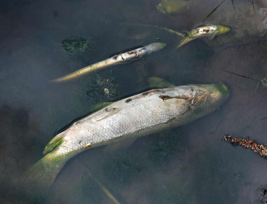 North Haven— Dead fish float on the surface of a pond along 8-Mile Brook in North Haven along Rimmon Road, Friday afternoon following the large brush fires in North Haven this week. Photo- Peter Casolino/New Haven Register 04/20/12