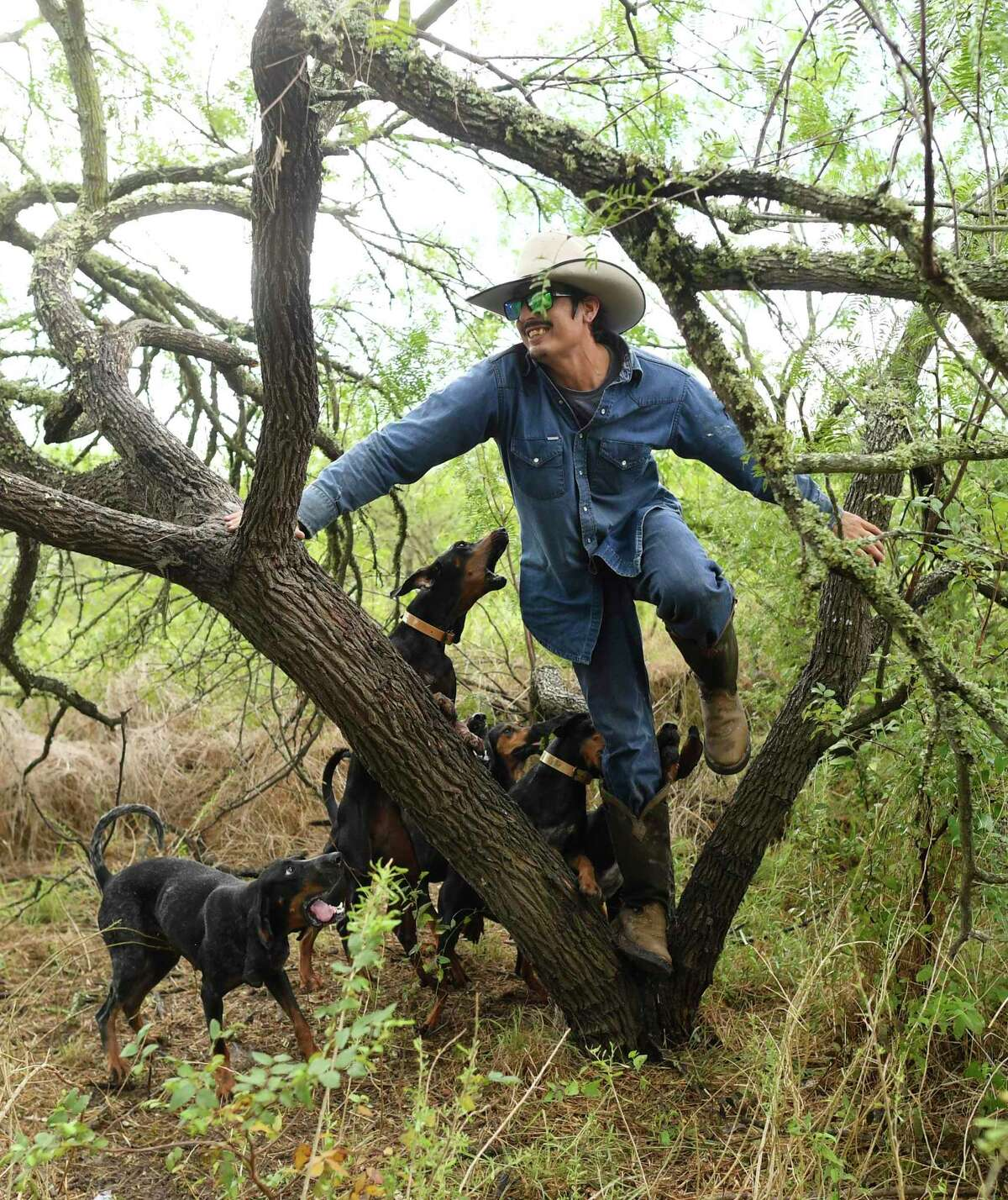 Gilbert Rosales of Texas Canine Tracking and Recovery is treed while playing the part of a decoy in a training session for dogs being taught to track humans.