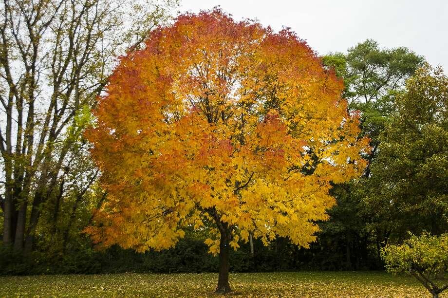 Brightly colored leaves are spotted in Midland Oct. 15, 2019. (Katy Kildee/kkildee@mdn.net) Photo: (Katy Kildee/kkildee@mdn.net)
