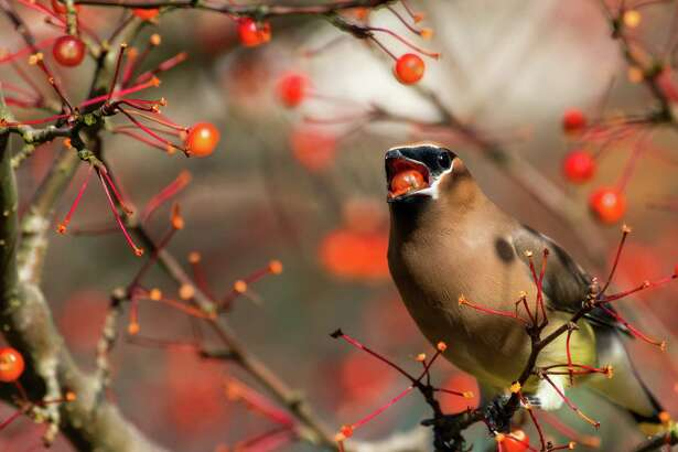 The type of trees and shrubs you choose can also make a big difference to birds. Shown is a cedar waxwing eating a chokeberry.