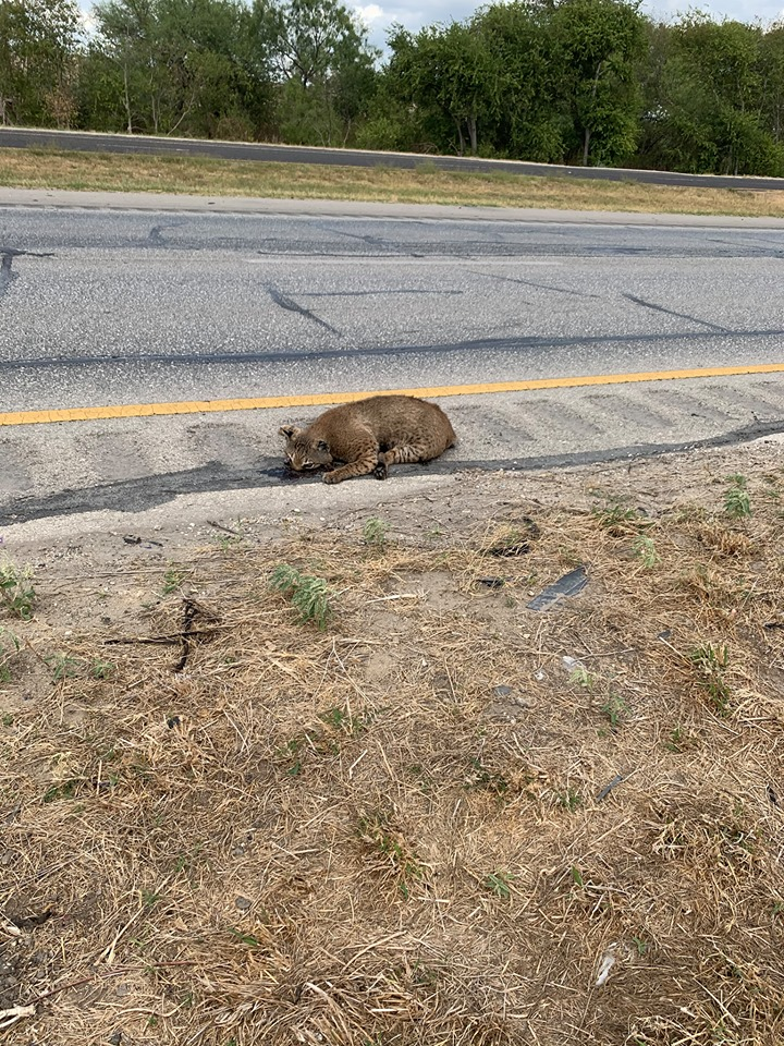 Questions raised by photos showing bobcats on San Antonio's South Side answered