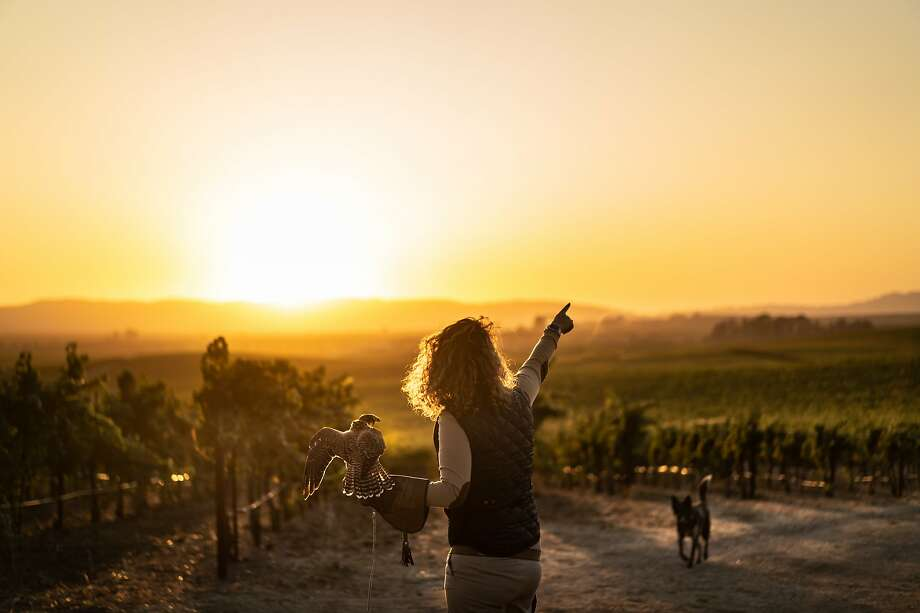 Rebecca Rosen points out the direction where EB, her Peregrine Falcon, will fly on Saturday, Sept. 28, 2019, in Napa, Calif. Photo: Paul Kuroda / Special To The Chronicle