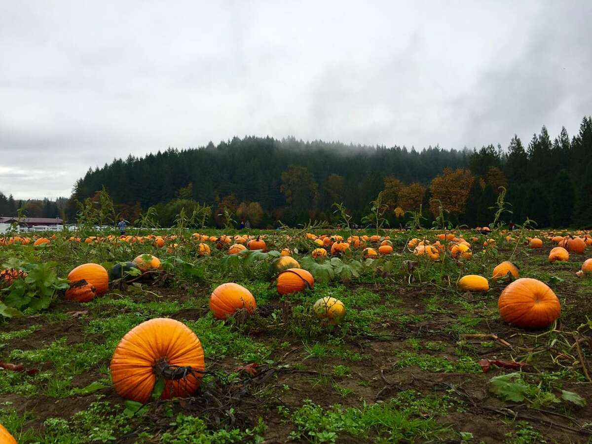 Remlinger Farms doles out u-pick pumpkins alongside its famous u-bake pies. Keep clicking for details on nine of Seattle's nearby pumpkin patches.