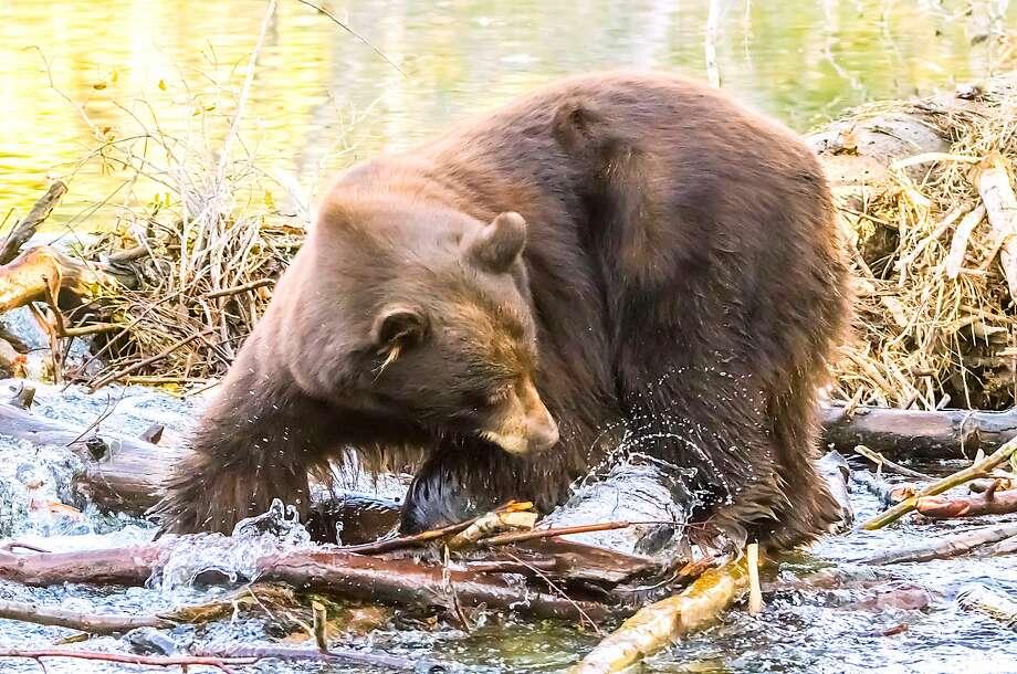 A big bear spots a kokanee salmon on Taylor Creek Photo: Marc Crumpler / Special To The Chronicle