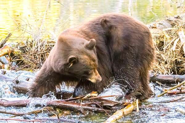 A big bear spots a kokanee salmon on Taylor Creek