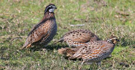 Texas Parks and Wildlife's annual roadside quail survey indicates an upswing from the terrible year the birds and hunters had last season.