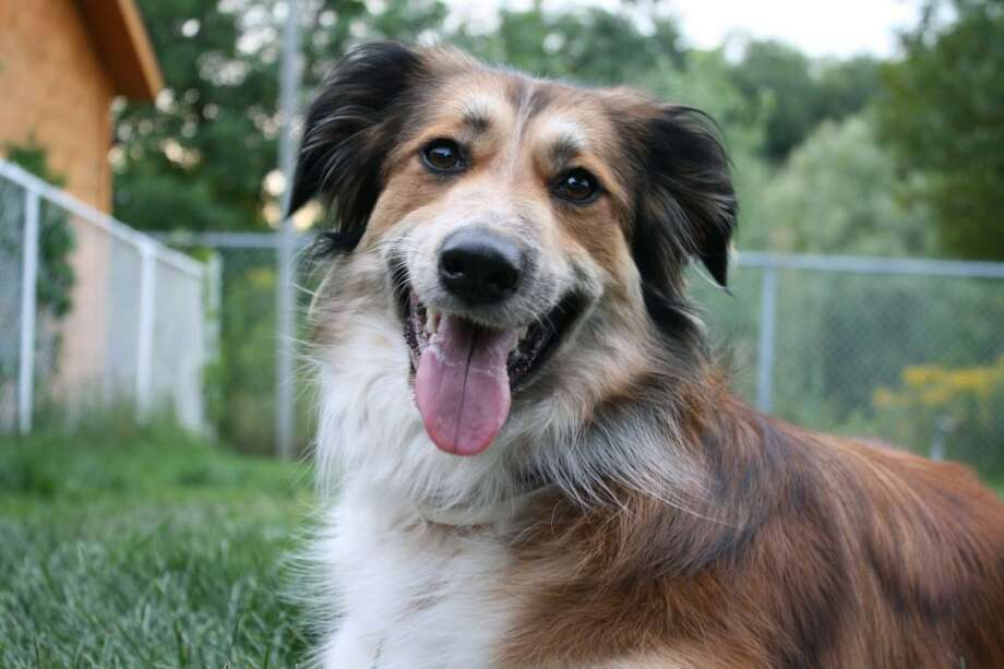 Genetic testing kits for dogs can offer insight to breeds and possible illnesses. Photo: Courtesy Of Texas A& University