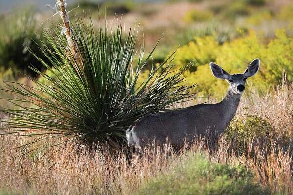 Mule Deer are plentiful at the Reserva Del Carmen.