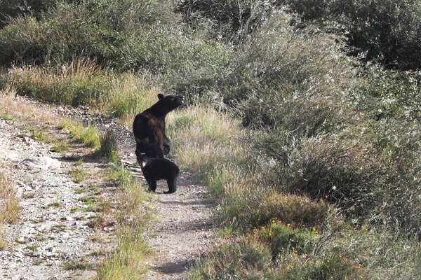 A mother bear sniffs, smelling humans as a cub looks back at them on a mountain road in Reserva Del Carmen in Coahuila, Mx. on Wednesday.