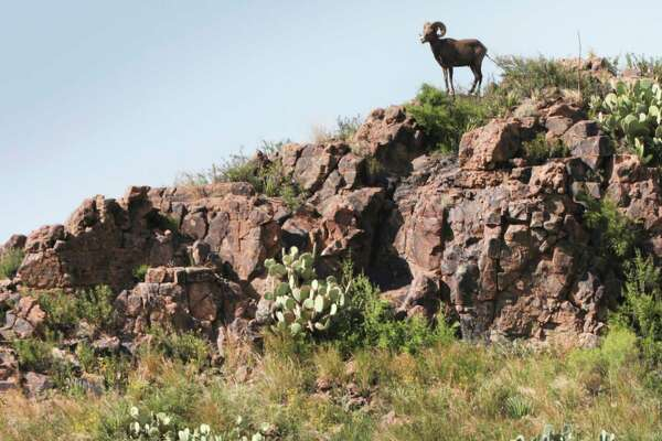 A Bighorn sheep looks out from a perch at Reserva Del Carmen.