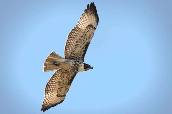 A Swainson Hawk flies over Reserva Del Carmen in Coahuila, Mexico.