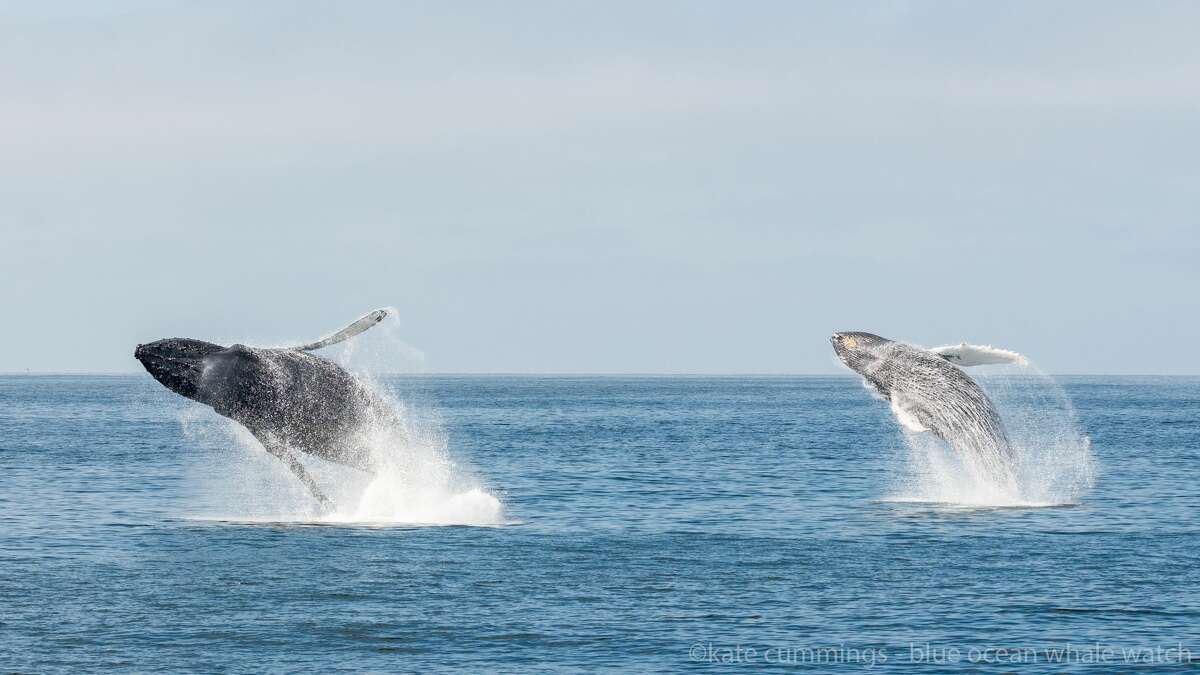 Blue Ocean Whale Watch owner Kate Cummings was leading a tour on Tuesday, Oct. 15, when seven whales began to