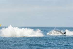 """Blue Ocean Whale Watch owner Kate Cummings was leading a tour on Tuesday, Oct. 15, when seven whales began to """"breach like crazy"""" right after a 4.7 earthquake struck about 35 miles away."""