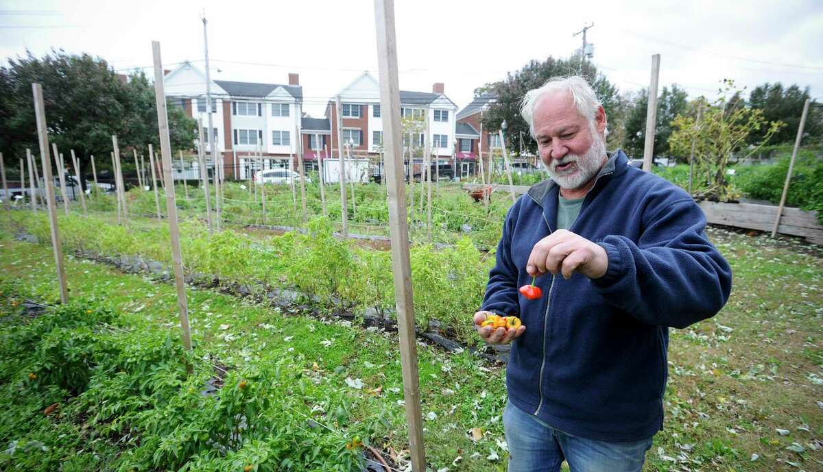 Phil Steinberg of Wilton, a volunteer at Fairgate Farms, harvests Scotch Bonnet Peppers from the garden on Oct. 17, 2019 in Stamford Connecticut. Recently, the farm was awarded a grant which will fund the installation of a newer, less labor intensive, composting system. Leaders at Stamford's West Side community garden are launching an initiative to encourage residents to compost their jack-o-lanterns after Halloween, with the new system which will be operational by mid-November.