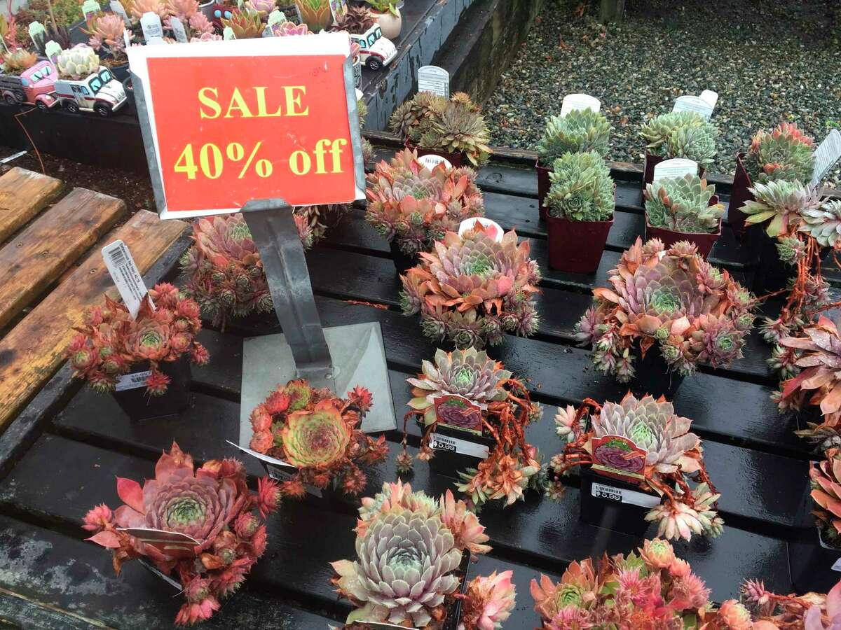This assortment of succulents, photographed Aug. 21, 2019, were marked down 40 percent at Bayview Farm & Garden, a grower-retailer operation located near Langley, Wash. Late summer and early fall are great times of the year to shop at garden centers because they typically mark down their off-season inventories rather than cart them indoors for overwintering. (Dean Fosdick via AP)