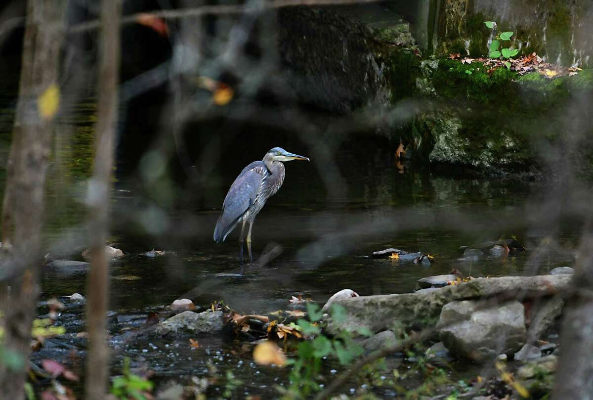 A great blue heron looks for food near a culvert under a bike path on Friday, Oct. 18, 2019 in Niskayuna, N.Y. (Lori Van Buren/Times Union)