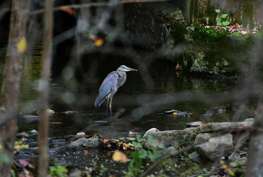 A great blue heron looks for food near a culvert under a bike path on Friday, Oct. 18, 2019 in Niskayuna, N.Y. (Lori Van Buren/Times Union) Photo: Lori Van Buren, Albany Times Union