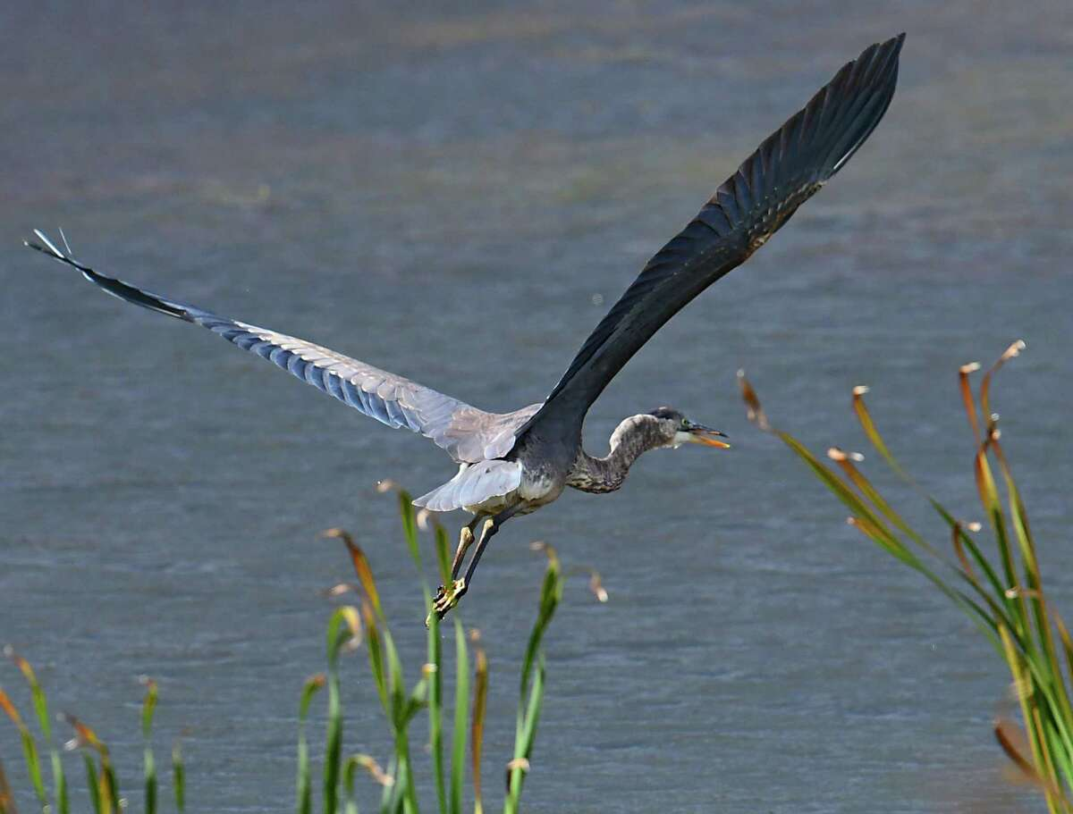 A great blue heron takes flight over a body of water near the Mohawk River on Friday, Oct. 18, 2019 in Niskayuna, N.Y. (Lori Van Buren/Times Union)