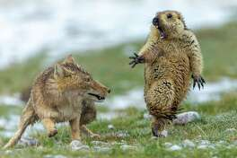 """The Moment"" by Yongqing Bao, China - Joint Winner 2019, Behavior: Mammals It was early spring on the alpine meadowland of the Qinghai-Tibet Plateau, in China's Qilian Mountains National Nature Reserve, and very cold. The marmot was hungry. It was still in its winter coat and not long out of its six-month winter hibernation, spent deep underground with the rest of its colony of 30 or so. It had spotted the fox an hour earlier, and sounded the alarm to warn its companions to get back underground. But the fox didn't leave. So the marmot had ventured out of its burrow again to search for plants to graze on. Suddenly the fox rushed forward. Yongqing shot quickly, his fast exposure freezing the attack. The intensity of life and death was written on their faces - the predator, her long canines revealed, and the terrified prey, forepaw outstretched, with long claws adapted for digging, not fighting."
