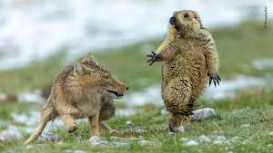"""The Moment"" by Yongqing Bao, China — Joint Winner 2019, Behavior: Mammals     It was early spring on the alpine meadowland of the Qinghai–Tibet Plateau, in China's Qilian Mountains National Nature Reserve, and very cold. The marmot was hungry. It was still in its winter coat and not long out of its six-month winter hibernation, spent deep underground with the rest of its colony of 30 or so. It had spotted the fox an hour earlier, and sounded the alarm to warn its companions to get back underground. But the fox didn't leave. So the marmot had ventured out of its burrow again to search for plants to graze on. Suddenly the fox rushed forward. Yongqing shot quickly, his fast exposure freezing the attack. The intensity of life and death was written on their faces – the predator, her long canines revealed, and the terrified prey, forepaw outstretched, with long claws adapted for digging, not fighting."