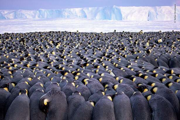 """""""The Huddle"""" by Stefan Christmann, Germany - Winner 2019, Wildlife Photographer of the Year Portfolio Award. More than 5,000 male emperor penguins huddle against the wind and late winter cold on the sea ice of Antarctica's Atka Bay, in front of the Ekström Ice Shelf. Each paired male bears a precious cargo on his feet - a single egg -tucked under a fold of skin (the brood pouch) as he faces the harshest winter on Earth, with temperatures that fall below -40 ̊C (-40 ̊F), severe wind chill and intense blizzards. The females entrust their eggs to their mates to incubate and then head for the sea, where they feed for up to three months. Physical adaptations - including body fat and several layers of scale-like feathers, ruffled only in the strongest of winds - help the males endure the cold, but survival depends on cooperation. The birds snuggle together, backs to the wind and heads down, sharing their body heat. From mid?'May until mid-July, the sun does not rise above the horizon, but at the end of winter, when this picture was taken, there are a few hours of twilight."""