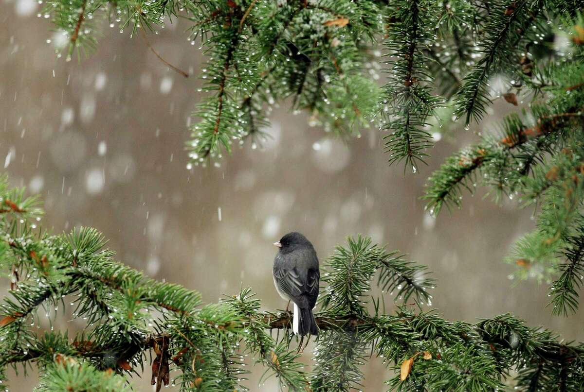 A slate-colored junco finds shelter in an evergreen tree as snow begins to fall in Lawrence, Kan., in this file photo from 2009.