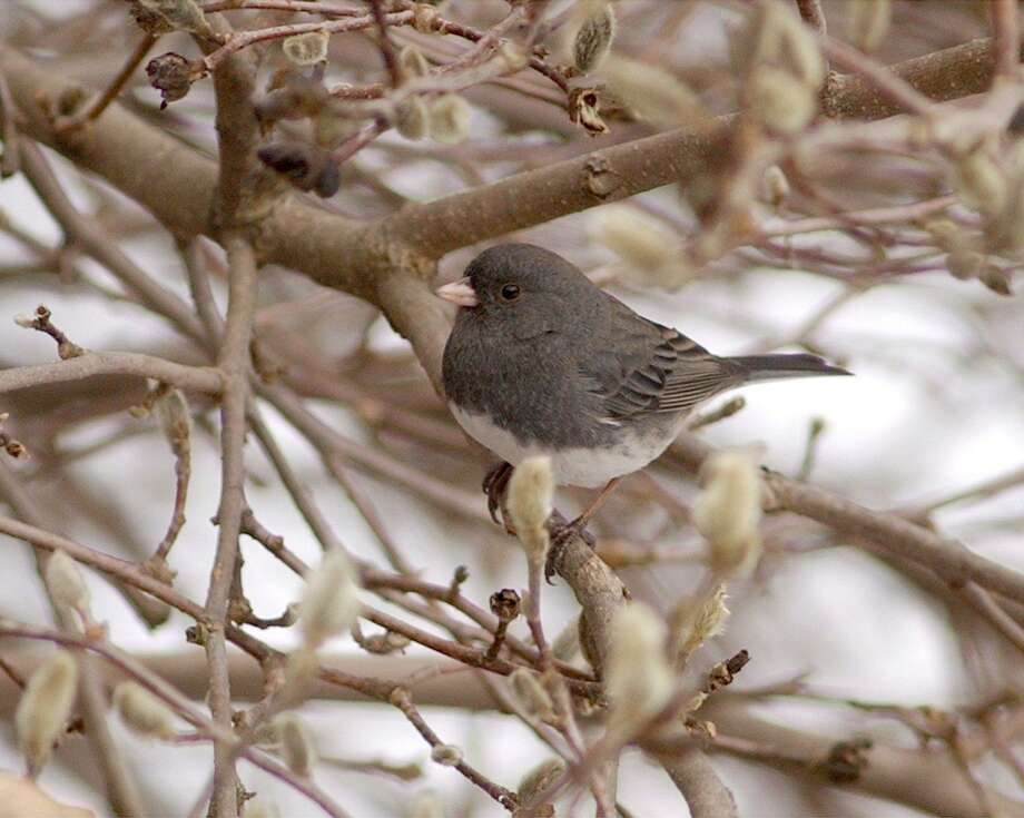 A slate colored junco at Bent of the River Audubon preserve in Southbury. Photo: David W. Harple / The News-Times