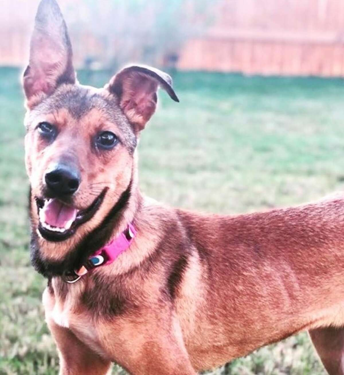 Izzy, who was formerly called Jane by the Seguin Animal Services staff, has loved her new home after her adoption in August. You can find your furbaby at the Pumpkins and Puppies adoption event this Saturday.