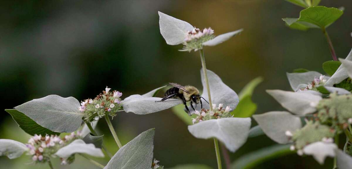 A bee on a clustered mountain mint plant in the Deer Pond Farm Bird & Pollinator Memorial Garden. Wednesday, October 16, 2019, in Sherman, Conn.