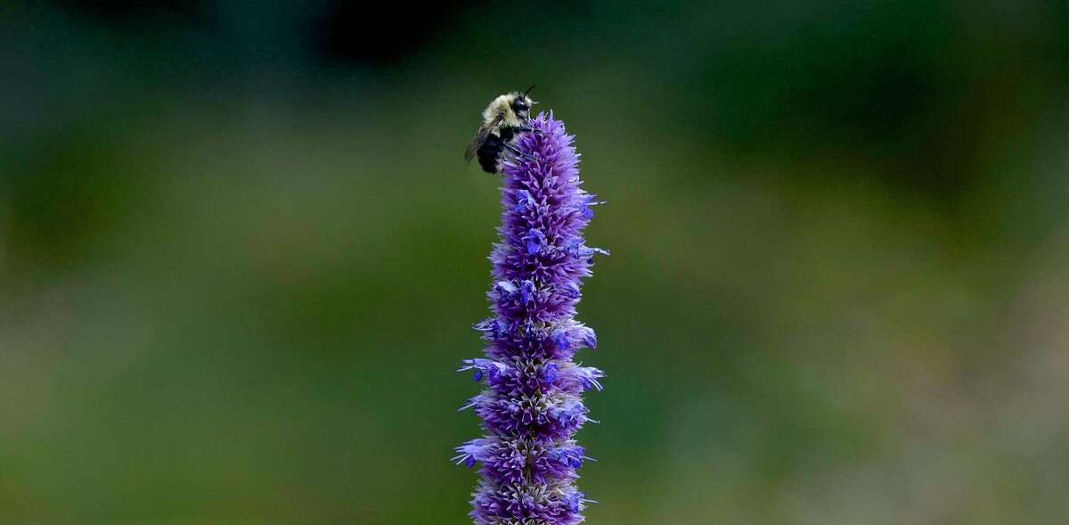 A bee on a anise hyssop plant in the Deer Pond Farm Bird & Pollinator Memorial Garden. Wednesday, October 16, 2019, in Sherman, Conn.