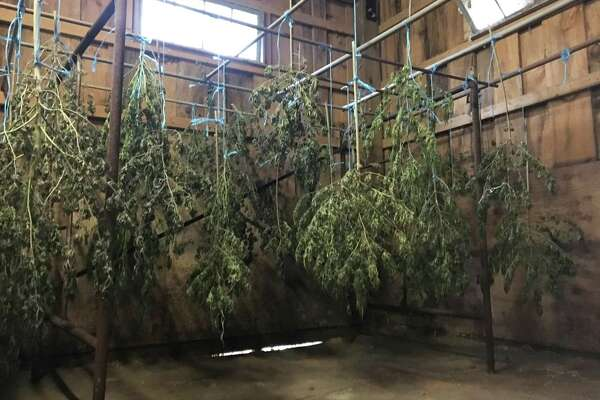 Drying hemp plants hang in Curtis Ek's barn in New Milford. About 85 percent of his crop was stolen. Friday, Oct. 18, 2019.