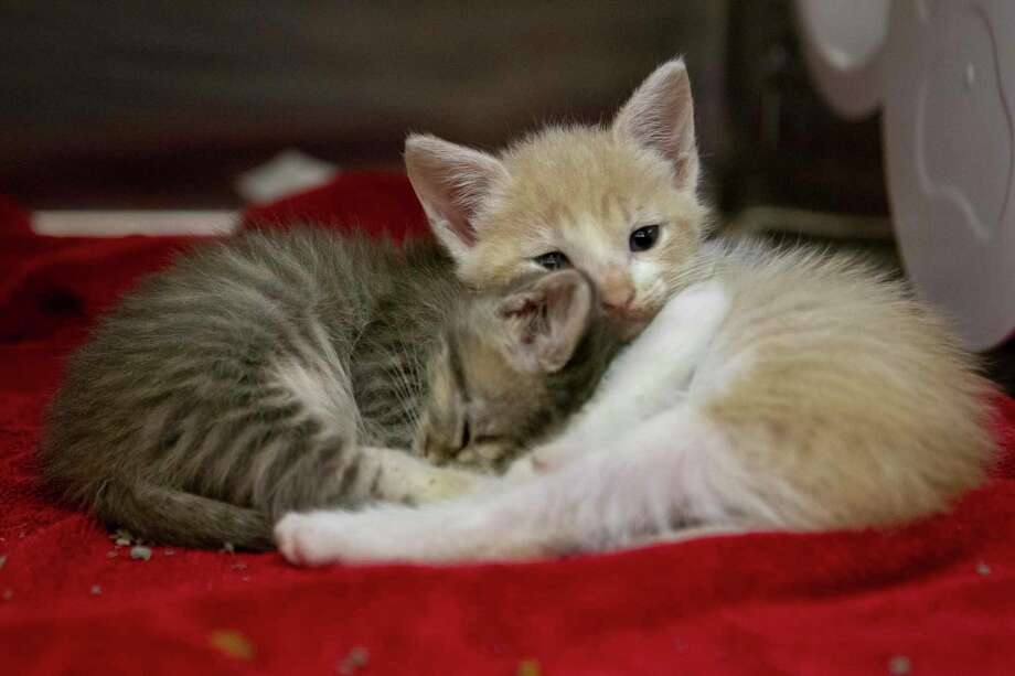 Kittens cuddle with each other Tuesday, June 18, 2019 at the Montgomery County Animal Shelter in Conroe. Photo: Cody Bahn, Houston Chronicle / Staff Photographer / © 2019 Houston Chronicle