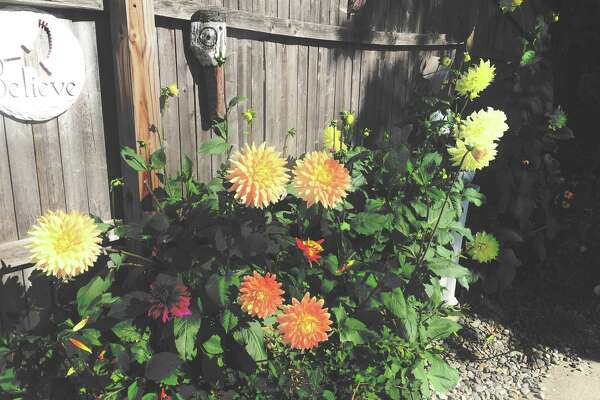 """These dahlias are tough,"" notes Troy homeowner Bill Fortin."