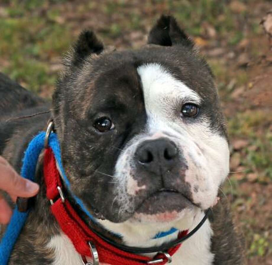 This is Thelma, a 5-year-old Bulldog mixwho can live in any size home, including apartments. Thelma would like to live with kids over age 10 who are gentle and respectful of pets, and Thelma would love to live with another dog. She does need a cat-free home. Thelma is a great dog with lots of potential and she needs a very patient and understanding family with large dog experience. Thelma has some special needs but she still has lots of life to live and love to give. Please ask the adoption counselor to explain when you visit with Thelma in Newington. Remember, the Connecticut Humane Society has no time limits for adoption. Inquiries for adoption should be made at the Connecticut Humane Society located at 701 Russell Road in Newington or call toll free: 1-800-452-0114. Photo: Contributed Photo