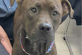 Tombstone is a doe-eyed male about 6 months old. He is available for adoption by individuals Oct. 25 and available to rescue groups Oct. 31.