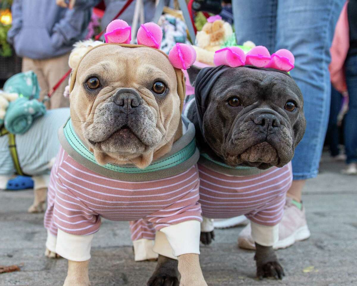 """Osiris and Gabby, dressed in pajamas with rollers in their """"hair,"""" pose for a photo during the Hounds of Halloween3, a benefit hosted by the Albany Business Improvement District where dogs and their owners trick-or-treat through downtown Albany to benefit the Mohawk Hudson Humane Society on Saturday, Oct. 19, 2019 (Jim Franco/Special to the Times Union.)"""