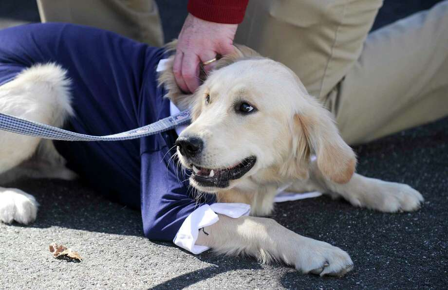 Charlie, a six-month old Golden Retriever relaxes as he looks around during Spot On Veterinary Hospital & Hotel Barktoberfest party on Oct. 19, 2019 in Stamford, Connecticut. The family and pet friendly event included a Pet Costume Contests, Paw print painting, Bounce House, Kids Story Time, Ask the Vet, tours, and Festive Food & Treats. Photo: Matthew Brown / Hearst Connecticut Media / Stamford Advocate
