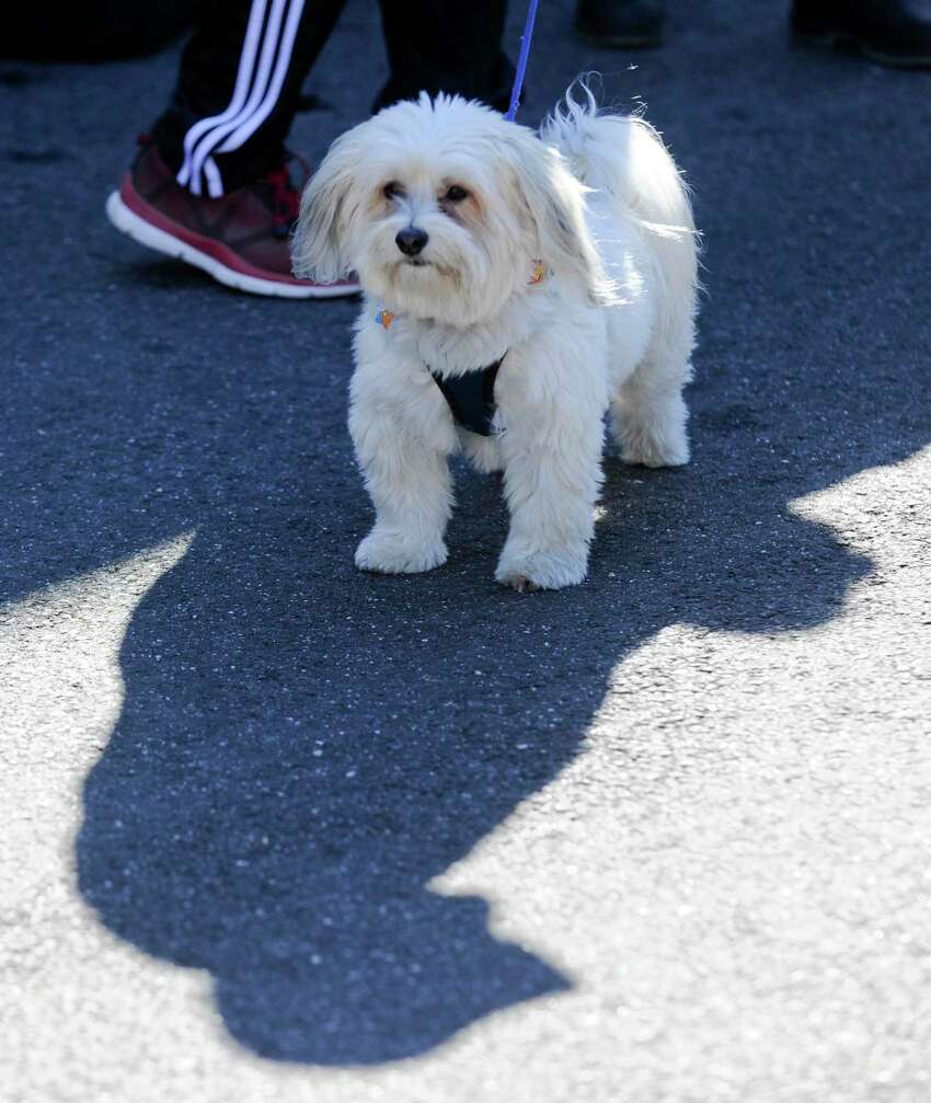 Chip, a four year old Havanese looks around for friends as his onwer speaks with guests attending the Spot On Veterinary Hospital & Hotel Barktoberfest party on Oct. 19, 2019 in Stamford, Connecticut. The family and pet friendly event included a Pet Costume Contests, Paw print painting, Bounce House, Kids Story Time, Ask the Vet, tours, and Festive Food & Treats.