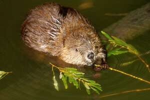Monroe police said a report of roadway flooding on Oct. 16, 2019, was eventually linked to a beaver blocking some culverts.