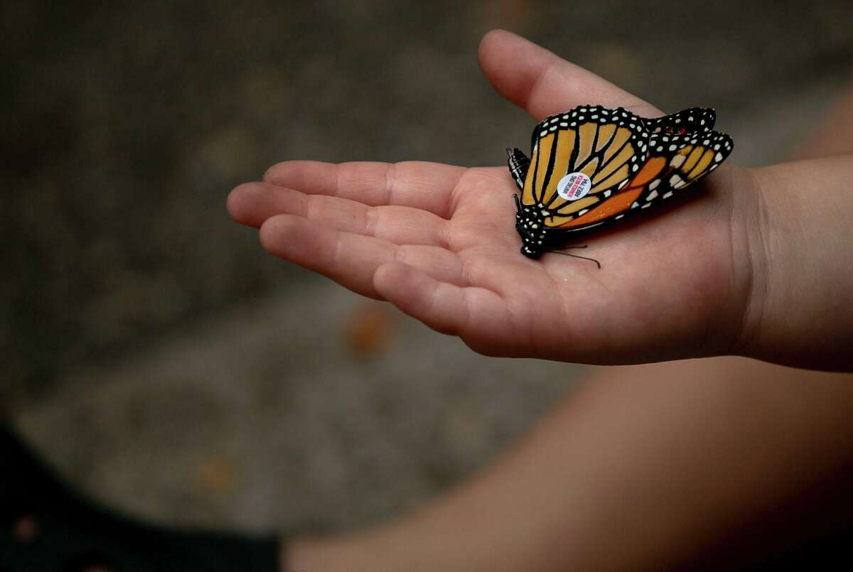 A young attendee holds a tagged monarch butterfly at last year's Monarch Butterfly and Pollinator Festival at Pearl in San Antonio. This year's event will honor lost loved ones by tagging monarchs with their names.