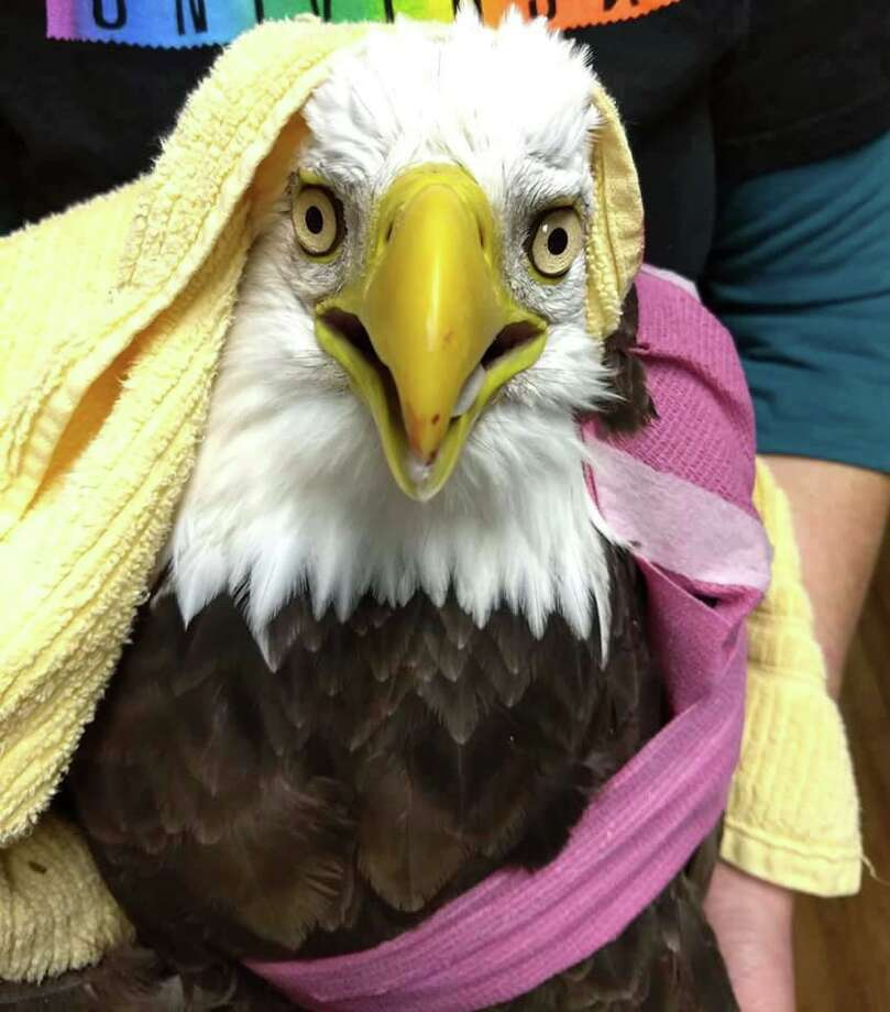 An eagle found on the side of Route 8 after being hit by a car Oct. 16, 2019, has died. Photo: Audubon Sharon / Contributed